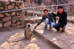Young local men feeding gray langur at Ranthambore Fort, India Stock Photo