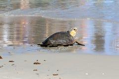 Young Loggerhead Turtle. Healthy sub-adult loggerhead turtle returns to the Atlantic Ocean off Juno Beach, Florida royalty free stock images
