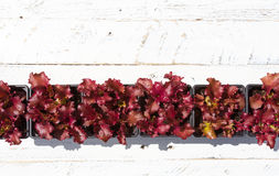 Young Lollo Rosso Lettuce Plants on White Background Royalty Free Stock Images