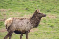 Young Lone Elk Buck royalty free stock image