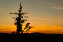 Young and lonely pine tree at sunset and wood stake with it