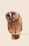 Young long-eared owl Royalty Free Stock Image
