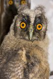 Young long-eared owl (Asio otus) Royalty Free Stock Images