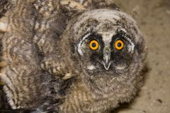 Young long-eared owl (Asio otus) Stock Image