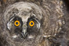 Young long-eared owl (Asio otus) Stock Photography
