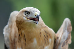 Young Long legged Buzzard Royalty Free Stock Photo