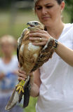 Young Long-legged Buzzard in the hand of an environmentalist Royalty Free Stock Images