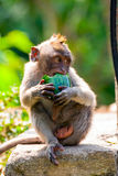 Young long-tailed macaque monkey eating Stock Photography