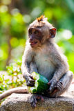 Young long-tailed macaque monkey eating Stock Photo