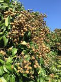 Young longan in an agriculture north of thailand royalty free stock photos