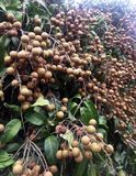 Young longan in an agriculture north of thailand stock images