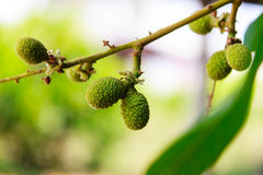 Young longan Royalty Free Stock Photos