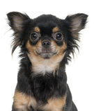 Young longhair chihuahua Royalty Free Stock Photos
