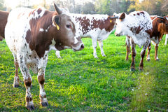 Young Longhorn Cattle Stock Photography