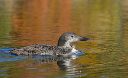 Young Loon With Autumn Colors. Autumn colors reflecting on the water with a six month loon swimming on a calm northern lake stock images