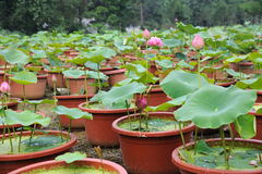 Young lotus. Some young lotus in the field Stock Photography