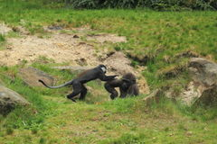 Young lowland gorilla and mountain monkey Stock Images