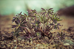 Young lupine plants Stock Photos