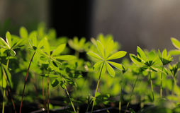 Young lupinus plant. Growing in greenhouse royalty free stock image