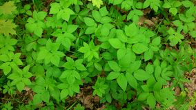 Young lush foliage Royalty Free Stock Images