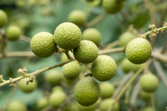 Young Lychee Branches Stock Photo