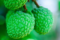 Young Lychee Fruit on the tree, Asia Fruit. Royalty Free Stock Images