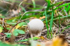 Young Lycoperdon perlatum mushroom known as common puffball. Lycoperdon perlatum, popularly known as the common puffball, warted puffball, gem studded puffball royalty free stock images