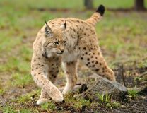 Young lynx. A lynx is in environmental conditions Royalty Free Stock Photography