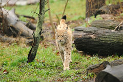 Young lynx Stock Images