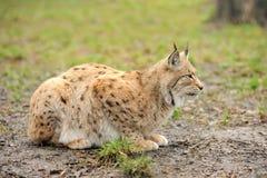 Young lynx Stock Photos
