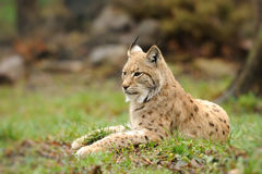 Young lynx Stock Photo