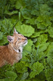 Young lynx. Young and powerful lynx in its territory Stock Photography