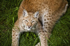 Young lynx. Young and powerful lynx in its territory Royalty Free Stock Image
