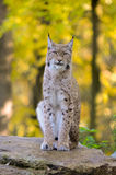 Young Lynx. On the rock Royalty Free Stock Images