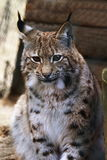 Young Lynx, animal garden, Lohberg, Germany Stock Photography