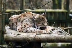 Young Lynx, animal garden, Lohberg, Germany Stock Photos