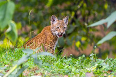 Young lynx Stock Image