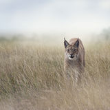 Young Lynx In the Grassland. Young Lynx walking  In the Grassland Stock Photos