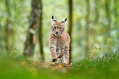 Young Lynx in green forest. Wildlife scene from nature. Walking Eurasian lynx, animal behaviour in habitat. Cub of wild cat from G. Ermany. Wild Bobcat between royalty free stock photo
