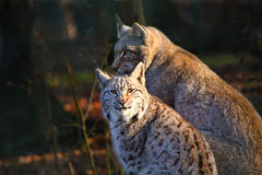 Young Lynx with the Mother Stock Photos