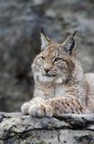 Young lynx portrait Stock Photo