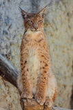 Young lynx sitting on tree branch Stock Image