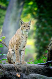 Young Lynx in spring time Stock Photo
