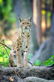 Young Lynx in spring time Royalty Free Stock Photo