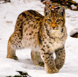 Young lynx in winter