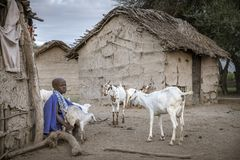 Young maasai girl with goats stock images
