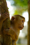 Young macaca monkey climbing on a tree. Stock Photos