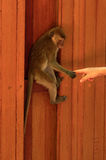 Young macaca monkey hanging on a wooden wall and holds finger or part of human hand. Contact with people. Royalty Free Stock Image