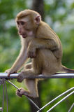 Young macaca monkey sitting on Metal fence and thinking about somthing . Royalty Free Stock Images
