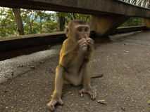 Young macaca monkey sitting on stone playing with somthing in his hands. Stock Photos